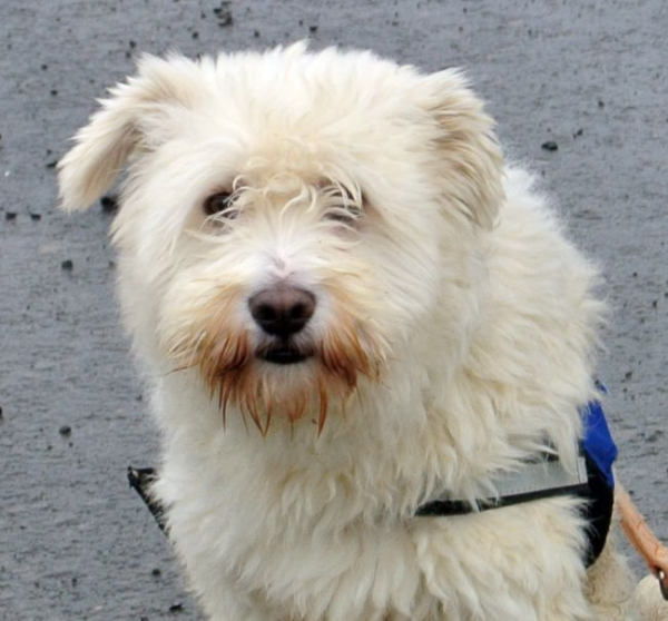 - RESERVIERT - BEON, Soft Coated Wheaten Terrier Mix, geb. 2013